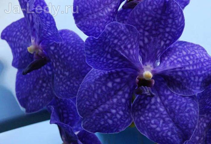Цветок орхидея – легенды, поверья, свойства и особенности